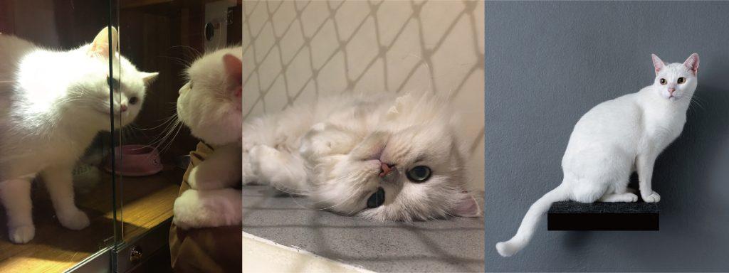 白貓:優雅、傲嬌、獨立、有個性、王子/公主病