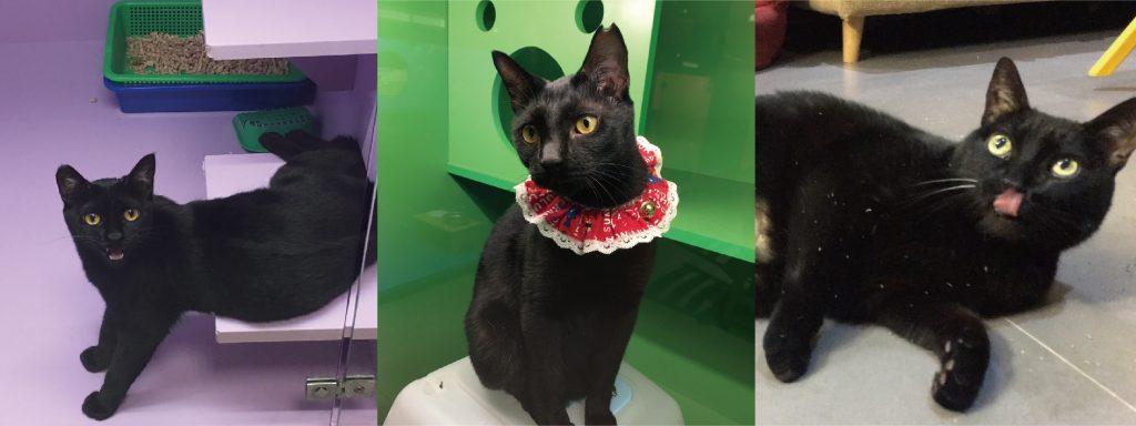 黑貓:獨立、沉穩、有點膽小、愛吃、個性溫和