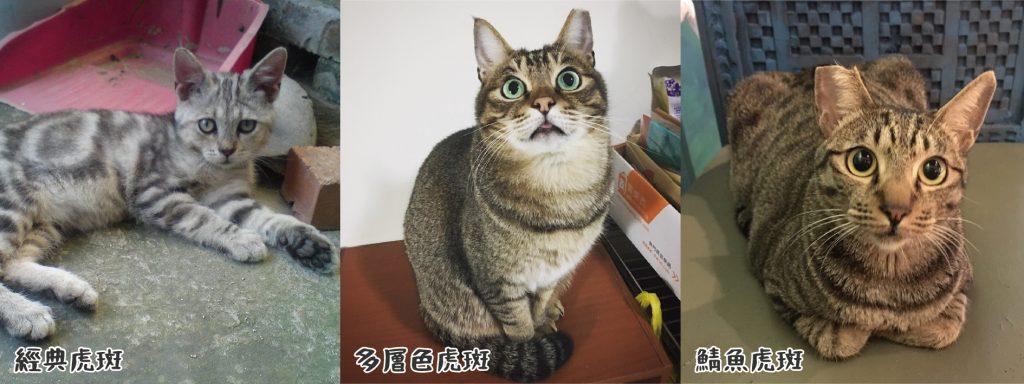 虎斑貓:謹慎、膽小、悶騷、愛玩、黏人