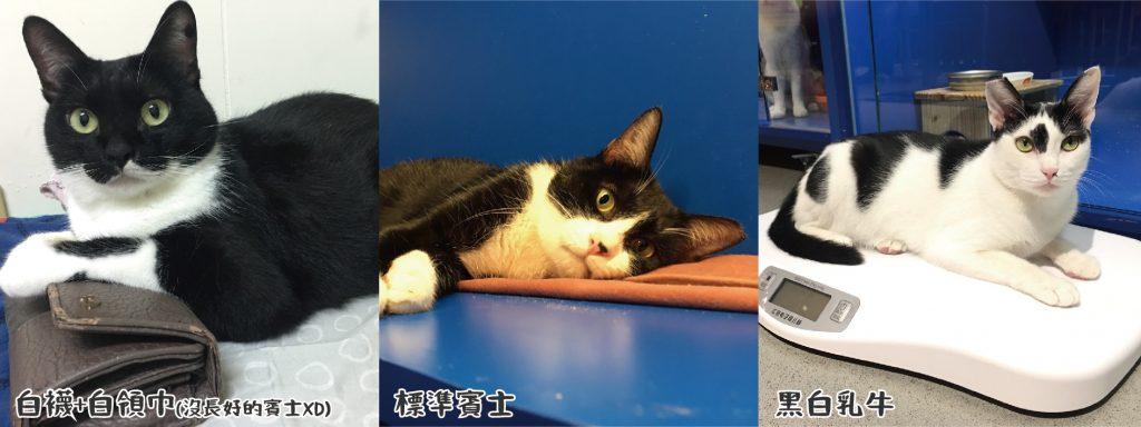 黑白貓:運動神經發達、活潑好動、撒嬌親人、大辣辣