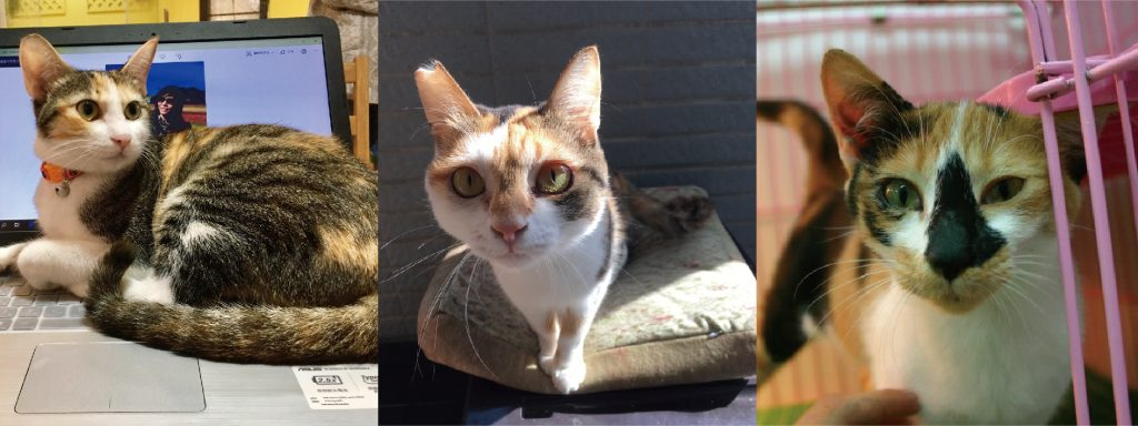 三花貓:幾乎都是母貓,有個性、小公主病、貪玩、黏人