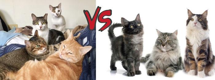 米克斯 vs 純種貓